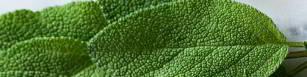 Salbei ist ein wirkungsvolles Mittel gegen Schnupfen