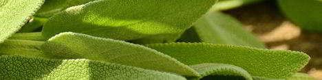 Inhalation mit Salbei ist nicht nur bei Halsschmerzen ein beliebtes Naturhausmittel