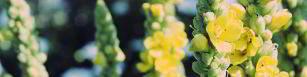 Die Königskerze ist eine weniger bekannte aber sehr effektive Heilpflanze