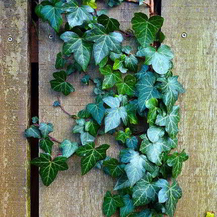Viele Pflanzenteile des Efeu sind giftig!