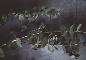 Eukalyptus wirkt ideal bei Husten und Erkältungen mit Schnupfen