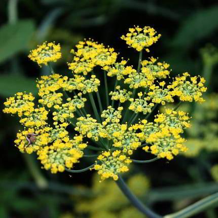 Die Dolden des Fenchel tragen gelbe Blüten