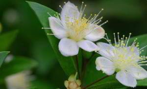 Myrte wird wegen seiner antibakteriellen Wirkung zu Balsam und Tee verarbeitet
