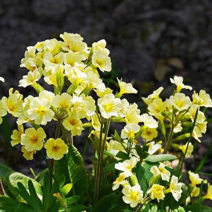 Alle Infos Rund Um Schlusselblume Im Heilpflanzen Wiki