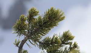 Aus den Nadeln der Latschenkiefer wird ätherisches Öl mit vielfältigen Heileigenschaften gewonnen.