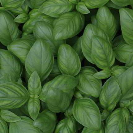 Die Basilikum-Blätter sind der meistgenutzte Pflanzenteil des Basilikum.