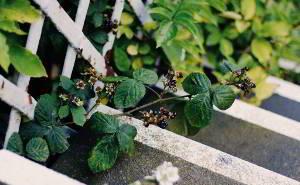 Vor allem bei Hautproblemen und Durchfall ist die Brombeere ein beliebtes Heilkraut.