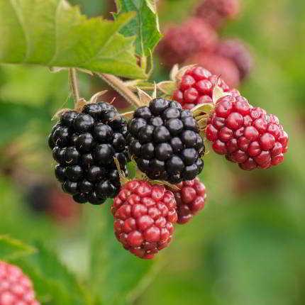 Die Früchte der Brombeere sind beliebt, aber auch die Blätter können gut als Tee verwendet werden.